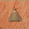 Grey Snout Moth