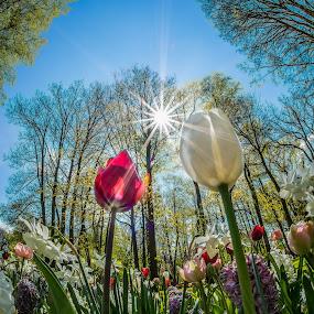 A Different View by Lynn Wiezycki - Flowers Flower Gardens ( fisheye, keukenhof, holland, tulip, garden, flower )