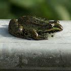 Marsh Frog/ Meerkikker