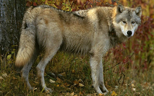 オオカミジグソーパズル