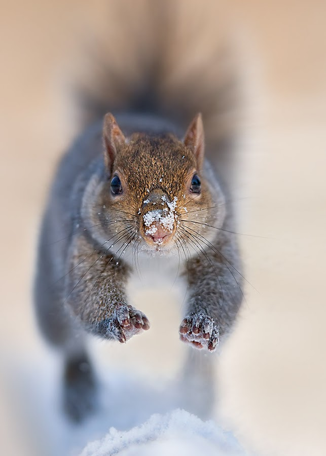 Squirrel by Stefano Ronchi - Uncategorized All Uncategorized ( squirrel; animal, mammal )