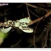 Malbar Pit Viper (Green Form)