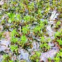 Australian Swamp Stonecrop