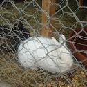 Albino Peacock, Pekin Duck, White Rabbit