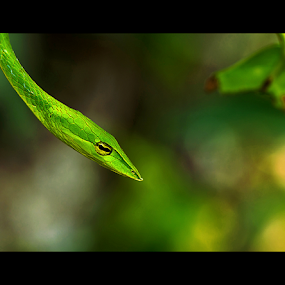 A Touch of Green by Ajith Unnikrishnan - Animals Reptiles ( snake, non venomous, green vine snake, kerala, india, western ghats,  )