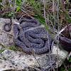 Montpellier snake (Σαπίτης)