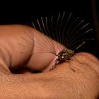 Cedar Beetle - Male