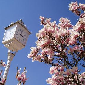 Clocks and magnolia by Renata Horáková - Uncategorized All Uncategorized (  )