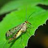 Common Scorpionfly