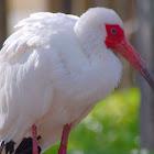 American White Ibis