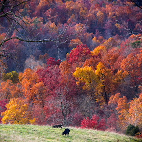 Two Cows by Michael Buffington - Landscapes Prairies, Meadows & Fields ( pasture, autumn, afternoon, feeding, cows, arkansas, , fall, color, colorful, nature )