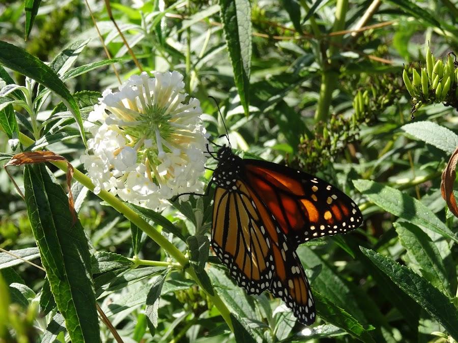 Monarch feeding by Debbie Varady Schlotfeldt - Novices Only Flowers & Plants