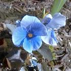 Blue Hardy Pansy