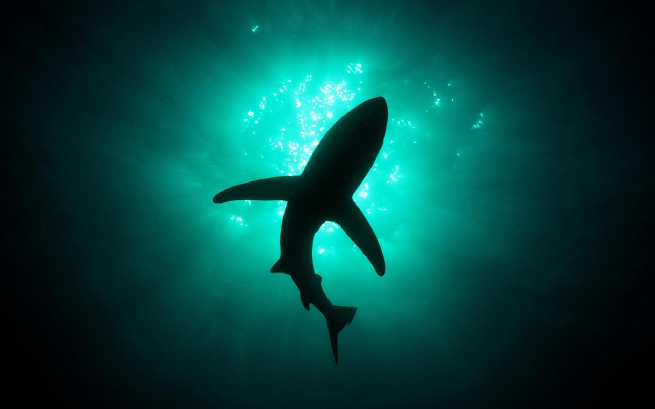 Great White SHARKS - screenshot