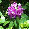 Rhododendron (non-native)