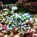 Clown shrimp, Harlequin shrimp