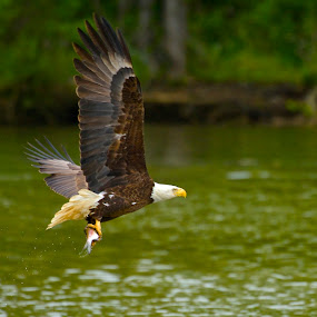 James River Bald Eagle by Roy Walter - Animals Birds ( wild, animals, bald eagle, wildlife, raptor, birds )