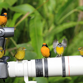 Gaturamos! by Itamar Campos - Animals Birds ( gaturamo, bananaquit, cambacica, violaceous euphonia males and females )