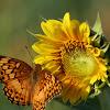 Veriegated Fritillary & Sunflower