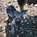 Wild boar, piglet (Wildschwein, Jungtier)