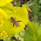 Broad-headed Bug