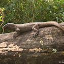 Common Indian Monitor Lizard