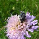 Blossom feeder scarab