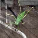 Common True Katydid