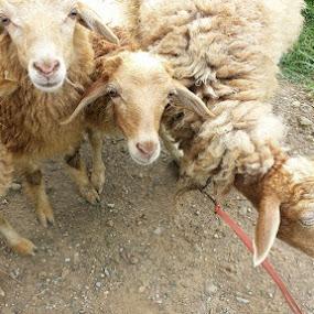 sheeps by Raj Tandukar - Animals Other Mammals ( ram, bakhra, bheda, sheep, lamb )