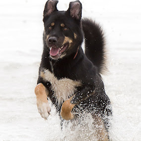Rocco in the Water by Selena Chambers - Animals - Dogs Running ( water, husky, beach, dog, running, rottweiler,  )