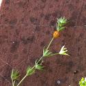 Ladybird beetle cacoon