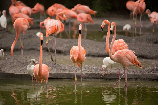 Flamingos at the Miami Zoo.