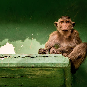 Wise monkey by Wahan Shahbazian - Animals Other Mammals ( staring, thinking, wise, vietnam, monkey,  )