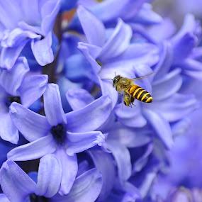 Hyacinthus Orientalis and Honey Bee by Leka Huie - Flowers Flower Gardens (  )