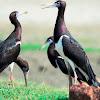 Stork - Abdim's Stork