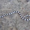 Ground Snake