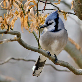 Blue Jay in Willow Tree by Nancy Daugherty - Animals Birds ( bird, animals, nature, outdoors, wildlife, blue jay )