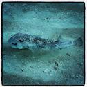 spot fin porcupinefish, blowfish, pufferfish / Gepunkteter Igelfisch
