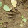Racoon footprint