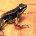 Trinidad Stream Frog