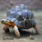 Tortoise Wallpaper LWP