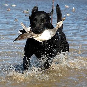 My dog Radar by Cliff Dowden - Animals Other ( duck hunting, black lab, black labrador, #GARYFONGPETS, #SHOWUSYOURPETS )