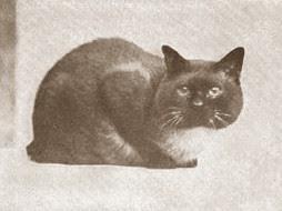 Traditional Siamese cat - Siamese cat history