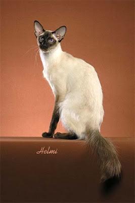 Modern Balinese Cat
