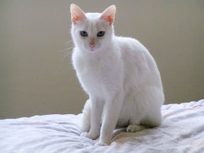 purebred cat rescue - a white cat