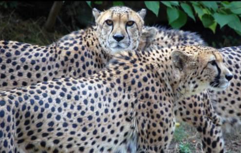 cheetah endangered species