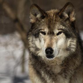 New Jersey wolf by Desiree DeLeeuw - Animals Other Mammals ( mammals, wild, winter, wolf, wildlife, new jersey )