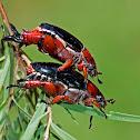 Black Nail Christmas Beetle