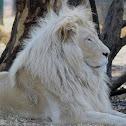 White lion  (Named Letsatsi)