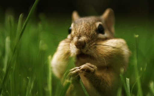HD Squirrel Wallpaper